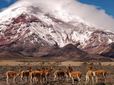 Vikunjas am Chimborazo